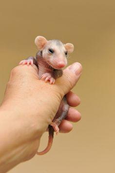 Rescued baby opossum! <3