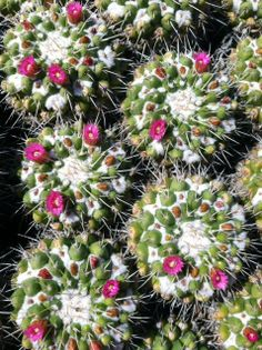 Gorgeous cactus in bloom at Huntington gardens in Pasadena, Ca