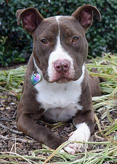 Pictures of Riblett a Pit Bull Terrier Mix for adoption in