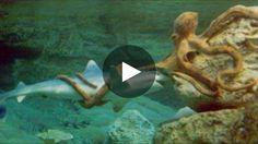 A défaut d'espace suffisant, l'aquarium de Seattle a été obligé de placer une pieuvre géante dans le même aquarium...