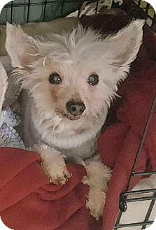 **Tiny and Toothless 15 years old** Oak Ridge, NJ - Chinese Crested Mix. Meet Jordie-  a Dog for Adoption.