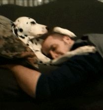 Humorous gif of a dalmatian dog petting his owner. More funny animal pictures and gifs at crazyhyena.com