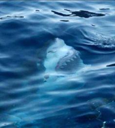 Photo taken of a Great White Shark in the ocean. Damn nature, you scary Orcas, Funny Animals, Cute Animals, Wild Animals, Megalodon, Great White Shark, Shark Week, Ocean Life, Ocean Ocean