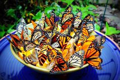 Bowl of Butterflies by heartcaptured: Taken at The Butterfly House at Hershey Gardens, PA. This little bowl of orange slices attracted butterflies in droves. #Butterfly _Bowl