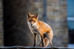 Spent an hour or so in the garden waiting for something to shoot. Trying to get used to the Nikon before using in earnest on a field trip. Mammals, Fox, Urban, Foxes