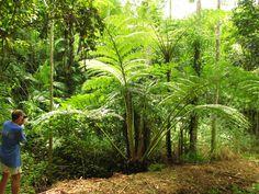 Shade Garden, Ferns, Shades, Plants, King, Beautiful, Bonito, Sunnies, Plant
