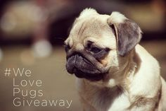 CONTEST TIME   Do you love pugs??!?! Read below how you can win some pawsome prizes!! . This giveaway is hosted by me and a few of my favourite pug buddies:  @vinniethepuggie @sirsidneythepug  @boris_the_instapug  @mokatheadorablepug @pugporsche  For your chance to win loads of pawsome puggy prizes by:  @doggy_deli - pug goodie bag @safepet.eu - Pet ID tag & pet wallet ID card  @lazybonezz - Collar  @badtags - tag of choice @greentroutoutfitters - 4ft single colour leash @mybenebone - Small…