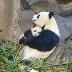Panda y su cria