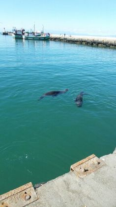 Seals at Kalk Bay harbour