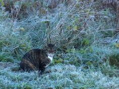 Frostis Cats, Animals, Gatos, Animais, Animales, Animaux, Animal, Kitty, Serval Cats