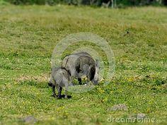 A view of a female Warthog and her young grazing in the afternoon sun. Elephant Images, African Animals, Zebras, Giraffe, Garden Sculpture, Sun, Female, Outdoor Decor, Felt Giraffe