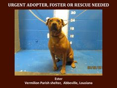 ***SUPER SUPER URGENT!!!*** - PLEASE SAVE ESTER!! - EU DATE: 3/12/2015 -- Ester Breed:Pit Bull Terrier Age: Adult Gender: Female Size: Large Location: Kaplan, LA  Read more at http://www.dogsindanger.com/dog/1425413768935#7lMuXElmwW8Abekb.99 -- If you have any questions please contact us at animalaidvermilion@gmail.com or (337) 366-0212 or visit our website animalaidvermilionarea.com for more information