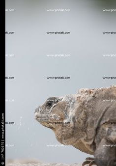http://www.photaki.com/picture-mature-head-of-an-iguana_700875.htm