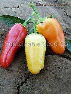 """Sweet pickle pepper is a stunning addition to any garden.     Compact, bushy plants reach 15"""" tall and are covered with clusters on 2 inch long fruits, fruits color (through maturity) yellow to orange to red to purple.     They are held upright on the plant.     Very tasty.     Sweet thick walls, perfect for pickles or salad use.    Excellent fresh as well as pickled.  Seeds are not bitter."""