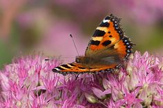 #aglais urticae #animal #butterfly #insect #little fox #pink flower