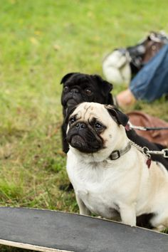 A beautiful pair of pugs! Jackie Jade via Funaek onto Pugs! (and occassionally some other cute dogs)