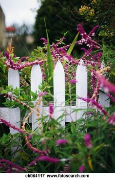 Garden fence with Mexican Sage Mexican Sage, Trailing Flowers, Veggie Tales, Royalty Free Pictures, Garden Fencing, Photography Branding, Garden Pots, Beautiful Gardens, Shrubs