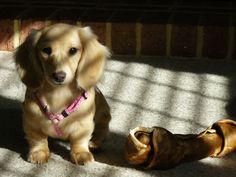 English Cream Long Hair Miniature Dachshund. This little girl is a Pale Cream :)