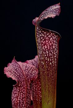 Pitcher plant (Sarracenia) 'Cherry Cola'