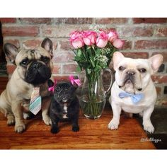 """Take the Picture!"", French Bulldogs."