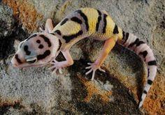 DESIGNERS   Designer Geckos