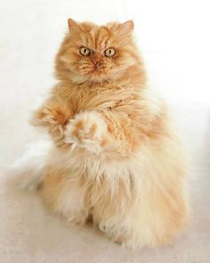 my favorite red persian cat <3