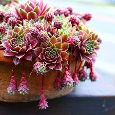"""Jaclyn Bridges (@queenofsucculents): """"Magenta Sempervivums by @genco.chieco who truly has the most beautiful succy insta ever • • •…"""""""