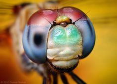 Макро фото - Голубая стрекоза (Meadowhawk – Sympetrum ambiguum).