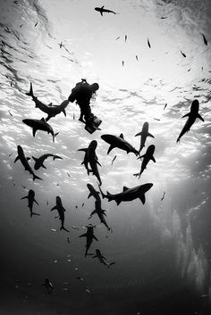 Divers underwater with sharks in the Bahamas.