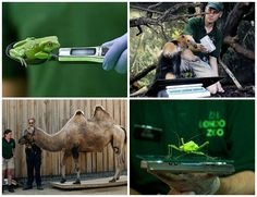 London Zoo's weird and wonderful animals got weighed and measured yesterday. A big hunk of horsemeat was required to get Jae Jae the Sumatran tiger to cooperate! Check out more photos here >> http://www.tntmagazine.com/news/london/pictures-london-zoos-weird-and-wonderful-animals-get-weighed-and-measured