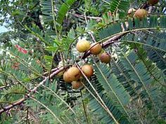 Amalaka Ekadashi or Amalaki Ekadashi-- is a Hindu holy day, celebrated on the 11th day (Ekadashi) of the waxing moon, in the lunar month of Phalgun (February–March). It is a celebration of the amalaka or amla tree (Phyllanthus emblica), known as the Indian gooseberry. The god Vishnu, for whom ekadashis are sacred, is believed to reside in the tree. The amla tree is ritually worshiped on this day to get the grace of the deity. The day marks the beginning of the main celebrations of the…