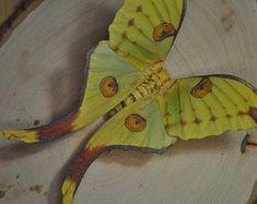 Argema mittrei male framed comet moth Madagascar | Etsy Butterfly Chrysalis, Monarch Butterfly, Butterfly Wings, Giant Moth, Moon Moth, Moth Wings, Habitat Destruction, Medium Art, Peace And Love