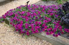 Petunia: Meaning, Types, How to Cultivate Photos - Mix shades of petunia not garden - Succulent Terrarium, Succulents Garden, Planting Flowers, Container Flowers, Container Plants, Petunia Plant, Purple Petunias, Fall Planters, Container Gardening Vegetables