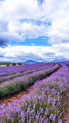 Tasmania Road Trip - Lavender Fields and Bay of Fires Lavender Garden, Lavender Fields, Roses Garden, Lavender Roses, Rose Flowers, Landscape Photography, Nature Photography, Travel Photography, Tasmania Road Trip