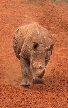 majestic Rhino By K
