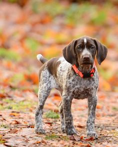 Some of the things we like about the German Shorthaired Pointer Puppies Gsp Puppies, Pointer Puppies, German Pointer Puppy, I Love Dogs, Cute Dogs, Golden Retriever, German Shorthaired Pointer, Hunting Dogs, Duck Hunting