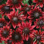 FOR THE GARDEN MY MOST FAVORITE IS RUDBECKIA.  IT BLOOMS LATE SUMMER AND ALL FALL UNTIL FROST.  BEAUTIFUL BLOOMS.  RESEEDS - PERENNIAL....