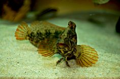 Striped Blenny Barnegat Bay, Flora, Fish, Pets, Animals, Animales, Animaux, Pisces, Plants