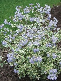 wish list:  Polemonium reptans (Variegated Jacob's Ladder)