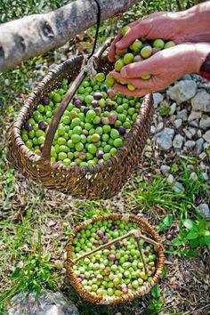 Makarska Croatia, Dalmatia Croatia, Olives, Olive Harvest, Olive Gardens, Olive Tree, Fruits And Vegetables, Organic Gardening, Seeds