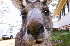 Bream Beach, Australia Beach, Shoal haven NSW Australia Beach, Kangaroo, Animals, Animales, Animaux, Kangaroos, Animais, Animal