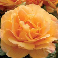 Rose Strike It Rich Grandiflora