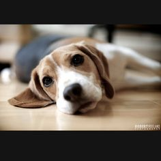 What's a home without a beagle?