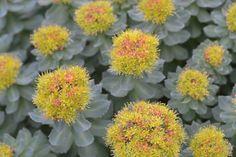 Rhodiola rosea by Avondale Nursery, via Flickr