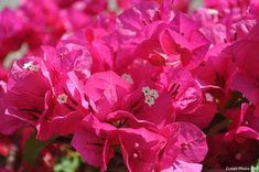 Comment choisir et entretenir un bougainvillier en pot ou en pleine terre et profiter de cette plante méditerranéenne à la floraison estivale abondante.