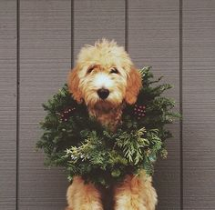 One adorable holiday pup. I wonder if I could get my pup to pose like this for a pic? Chien Goldendoodle, Goldendoodles, Labradoodles, Cockapoo, Goldendoodle Haircuts, Cat Dog, Noel Christmas, Christmas Puppy, Dog Christmas Cards