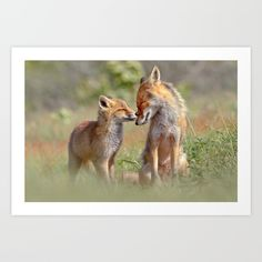 Mother fox and fox kit love. It's such a joy to see the love and affection between them. Foxes are higly social animal and they do not only take care for each other, but they really seem to enjoy each others company :D<br/> <br/> <br/> <br/> <br/> <br/> <br/> red fox,fox,vulpes vulpes...