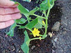 Jak sadzić ogórki?
