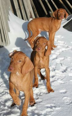Vizsla Pups ~ Classic Look Bloodhound Dogs, Vizsla Puppies, Dogs And Puppies, Weimaraner, Most Beautiful Dog Breeds, Beautiful Dogs, Cute Animal Pictures, Dog Pictures, Hungarian Dog