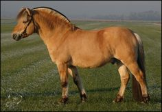 Our own - good old 'grandpa' - stallion Anton (Gnist x Musse)
